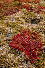 autumn highland plants background in Norway Gamle Strynefjellsve
