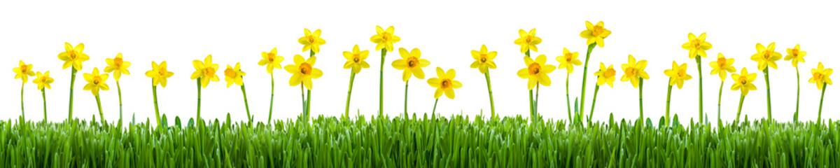 Blumenwiese mit Narzissen als Hintergrund