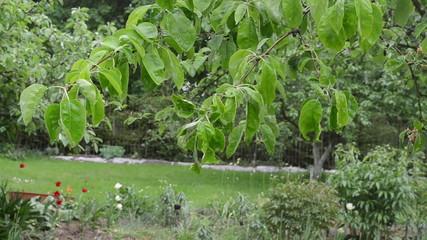 Rain water drops fall on apple fruit tree twig leaves in garden