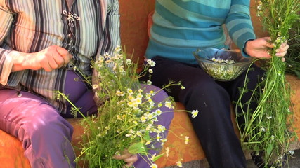 Pick herb chamomile flower on outdoor sofa. Alternative medicine