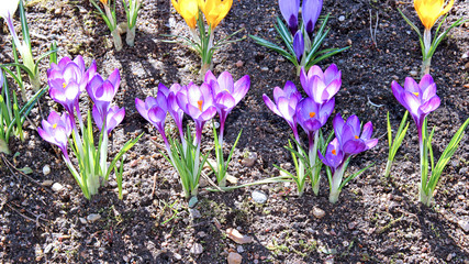 Yellow and lilac crocus flowers in the garden