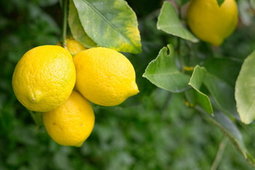 Natural lemon tree with ripe fruit without chemical treatments