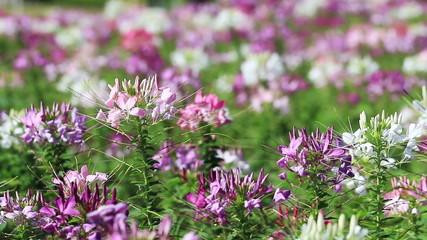 Purple Pink spider flower field blowing in the breeze