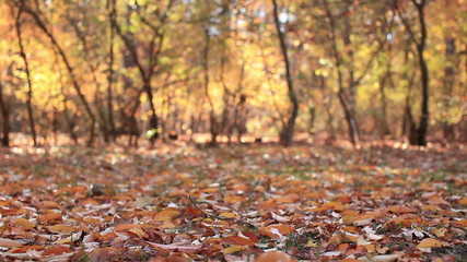 Autumn  forest landscape with leaves. Slider slow movement