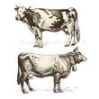 cows - 79573745