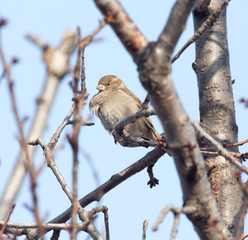 Sparrow on a tree