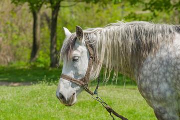Portrait of dappled mare at spring pasture