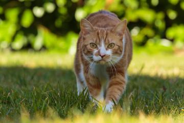 Anschleichende Katze