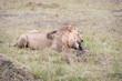 ������, ������: Lion in the SAvanna of Kenya