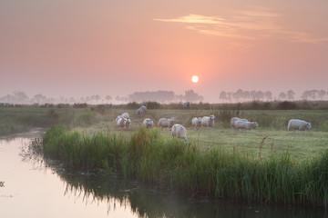 sheep herd at sunrise on pasture