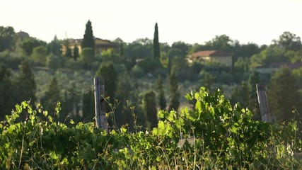 Scenes from a Tuscan vineyard .