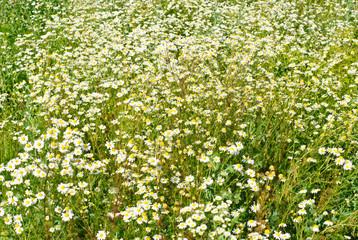 Chamomile flower neture background