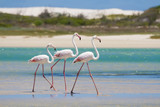 Fototapety Flock of flamingos wading in shallow lagoon water