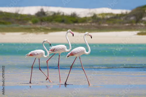 Foto op Canvas Flamingo Flock of flamingos wading in shallow lagoon water