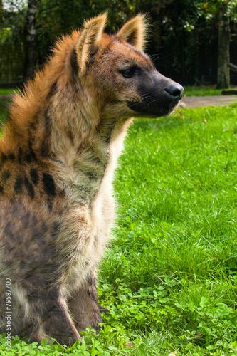 Fotobehang Hyena Spotted hyaena, Crocuta crocuta