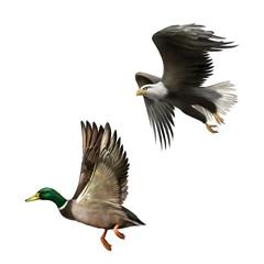 Male Mallard Duck Flying, american bald eagle in flight