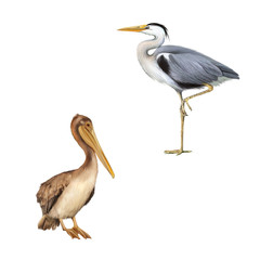pelican on a white. Grey Heron, Ardea Cinerea