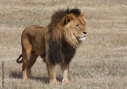 Fotobehang Afrika Lion Panthera leo