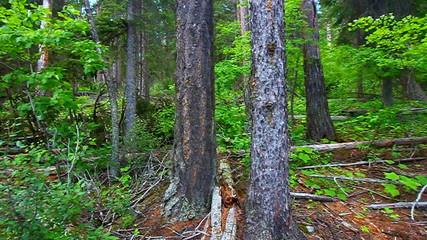 Forest Landscape Glacier National Park
