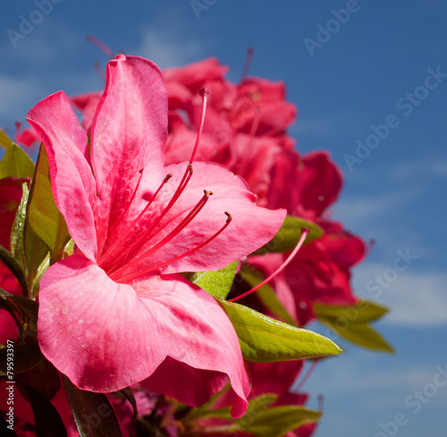 Foto op Canvas Azalea Spring flower