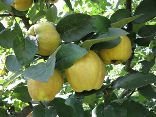 Rich harvest - juice ripe yellow quinces hanging on branch