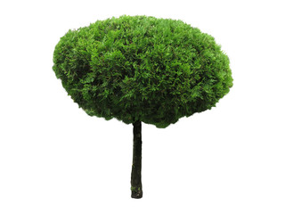 Green beautiful and roundl tree isolated