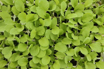 semis de plantes potagères