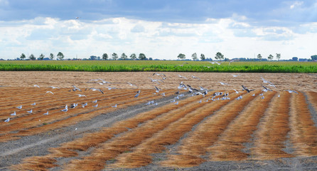 Birds pecking a field of harvested, ripe flax on clay