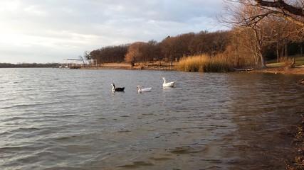 Lake geese 3