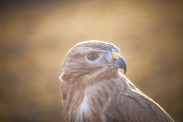 Portrait of Long-legged buzzard