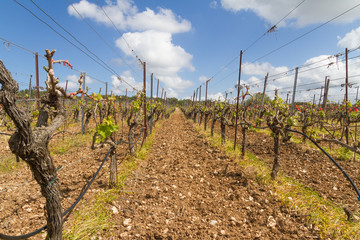 Rows of grapevines in spring time with young grape tendrils.