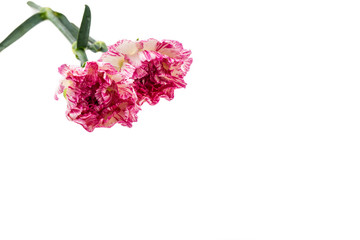 Beautiful pink flower on white background