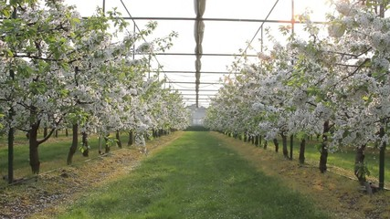 Blossom trees in garden centre