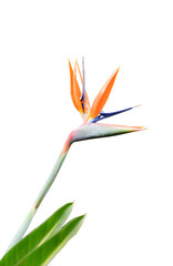Colorful of bird of paradise flower isolated on white background