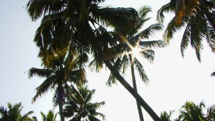 PAN, WS, Sun shining trough palm trees, Kerala, India