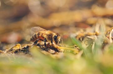 Closeup photo of honey bee