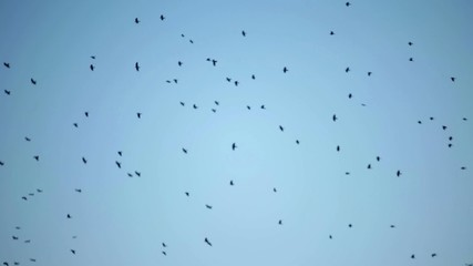 A huge flock of crow birds flying circling in the sky