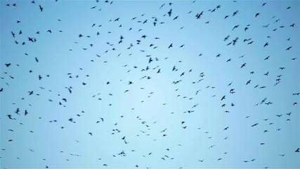 A huge flock of crows bird flying circling in the sky