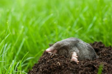 Mole in soil hole