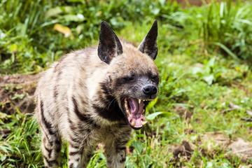 Striped hyaena, Hyaena hyaena