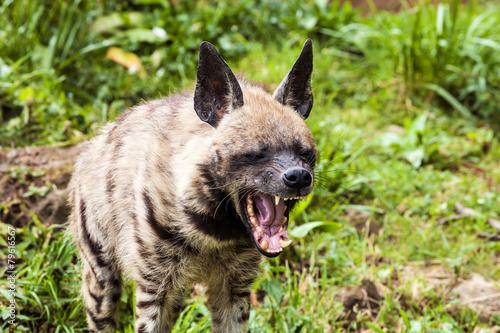 Fotobehang Hyena Striped hyaena, Hyaena hyaena