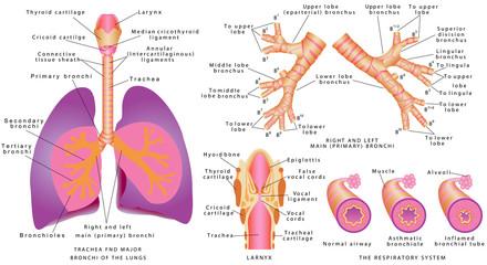 Human trachea and bronchi, Larynx