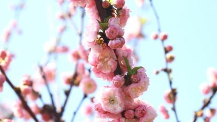 Blossom pink sakura tree  and singing nightingale