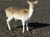 A roe deer in a paddock