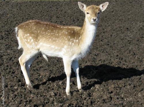 Fotobehang Ree A roe deer in a paddock