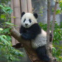 Panda bear in tree