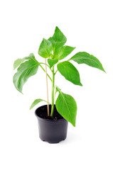 Paprika seedling on white background.