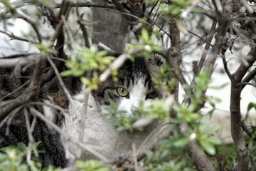 凝視するサバ猫
