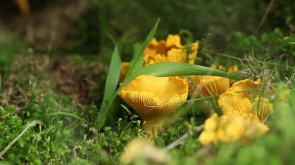 Chanterelle Mushroom