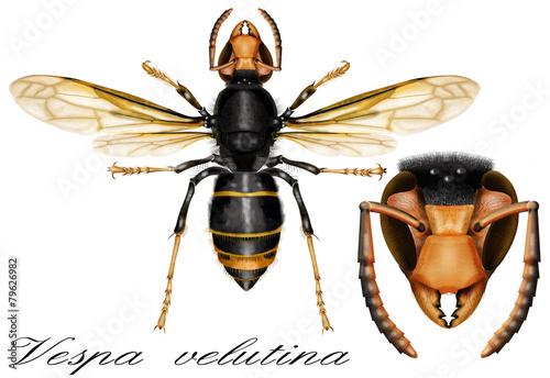 Leinwandbild Motiv Asian Predatory Wasp, Vespa velutina nigrithorax